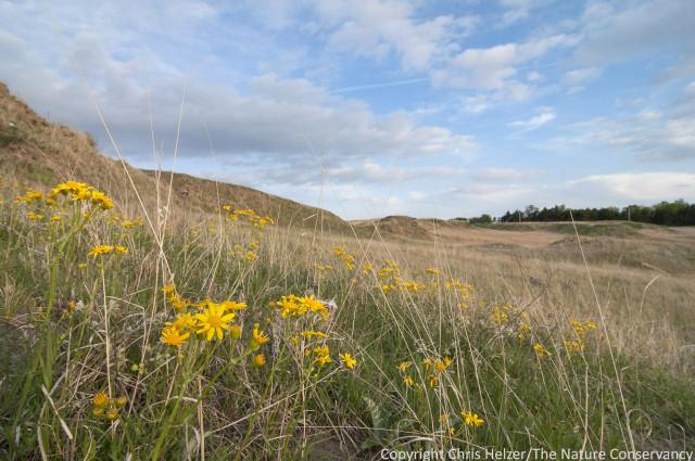 Prairie ragwort (Packera plattensis) at Griffith Prairie, near Marquette, Nebraska.